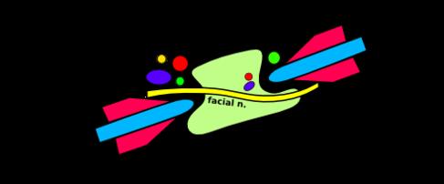 Parotid Gland - Radiation Oncology Blog